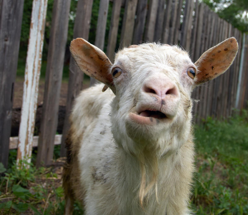 Goats would bleat, spin in circles and die