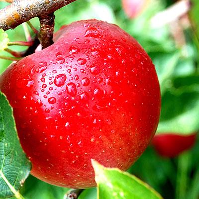 Apple diabetes