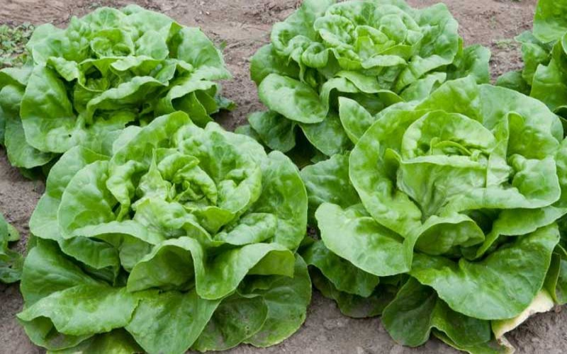 Ingredient of the week: Butter crunch lettuce