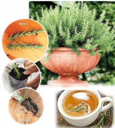 How to grow rosemary herb in a pot