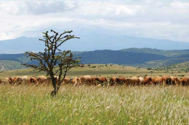 As droughts worsen, Kenyan herders revive ancient grazing system