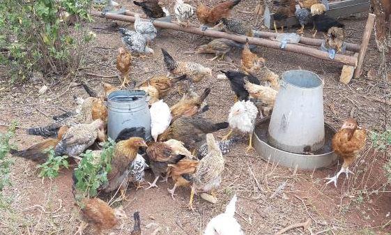A-Z of making good cash from rearing kienjeji birds