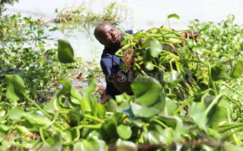 Entrepreneur turns water hyacinth into cooking fuel