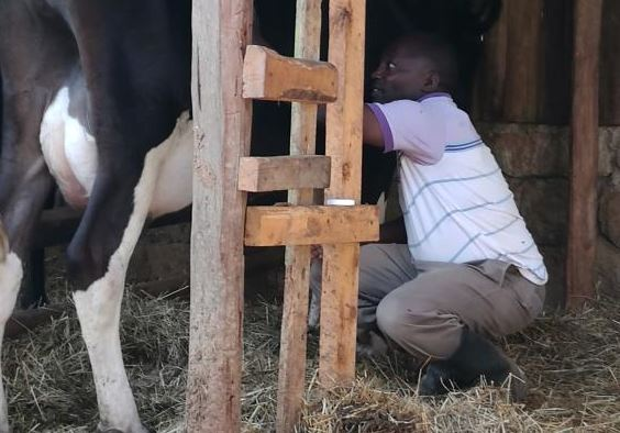 Ex-governor finds purpose in dairy
