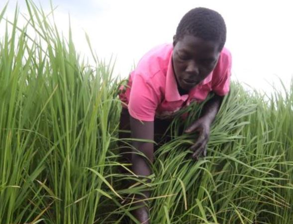 Fears for urban food supply as floods drown rice