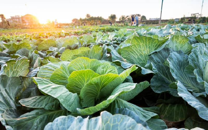 How to get the best out of your hustle of growing cabbages