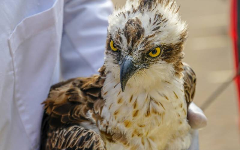 Understanding the bird that flew from Finland to Siaya: The Standard