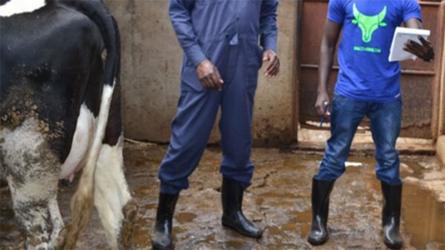 Online cow shopping gathers pace among Kenyan farmers
