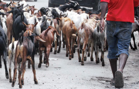 Pastor in mourning after dogs killed his goats