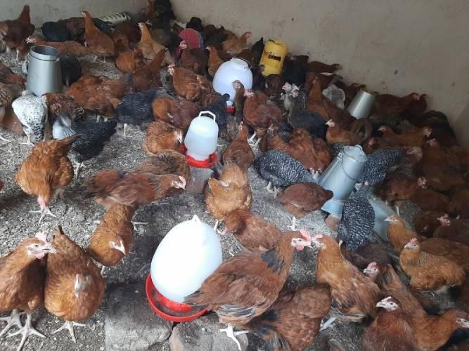Postmortem on dead chicken is witchcraft!