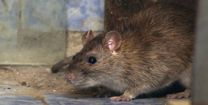 Rats, rats everywhere! Someone save us, Eastlands residents cry