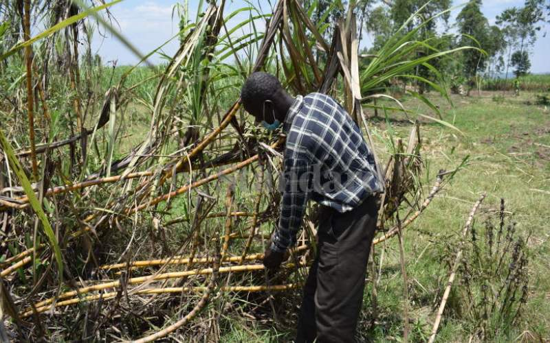 Roads to cushion cane farmers from incurring losses