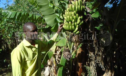 School dropout reaps big from bananas and sweet potatoes