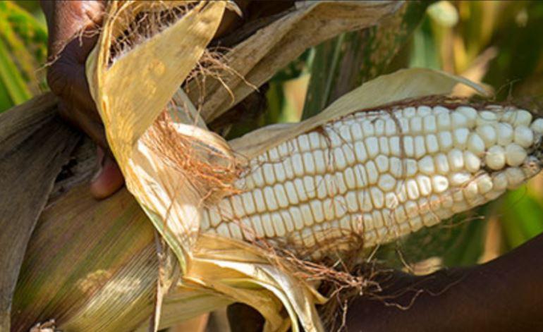 Farmers suffer as politics of maize splits leaders