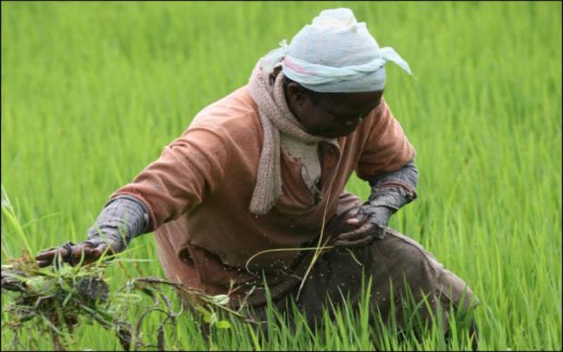 Gloom amid plenty: The story of disillusioned Ahero farmers