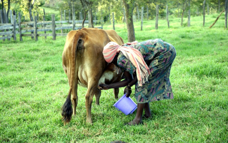 Draft dairy rules to slap farmers with huge fines