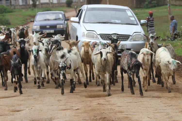 Town where goats fight for space with residents