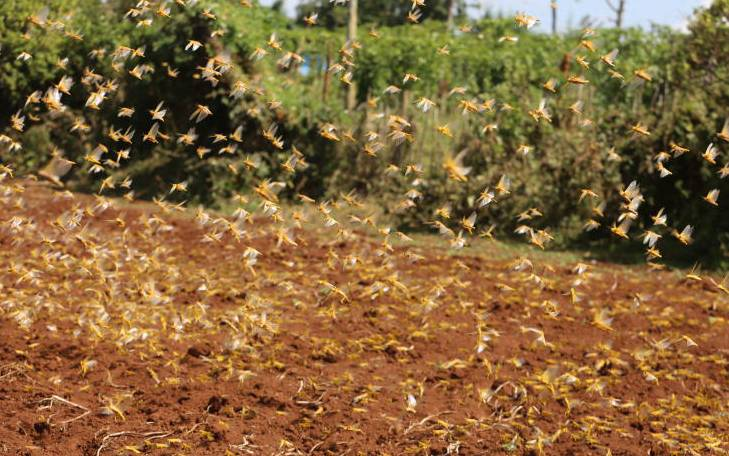 Cold weather pushes locusts out of Nyandarua County