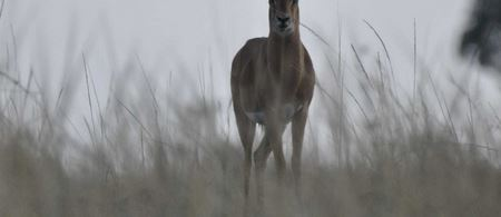 Deer bucks the odds to escape French hunters