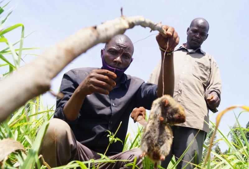 Farmers in dilemma as moles ravage food fields in Nyamira