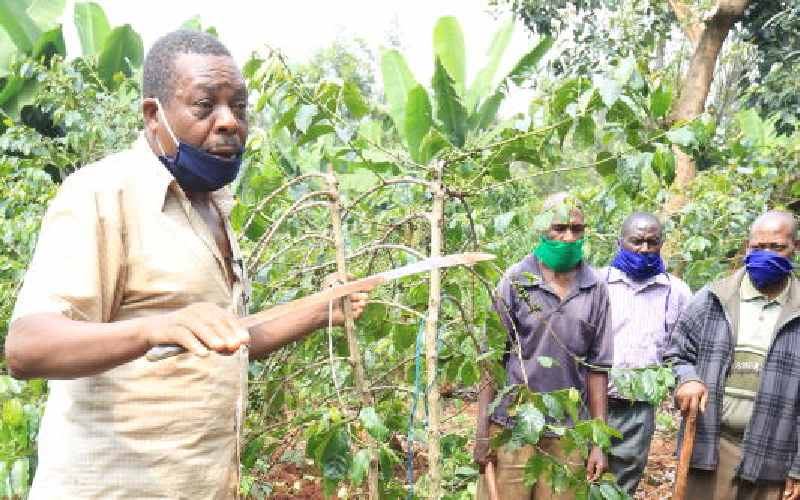 Farmers uproot coffee trees to protest Sh14 pay per kilo