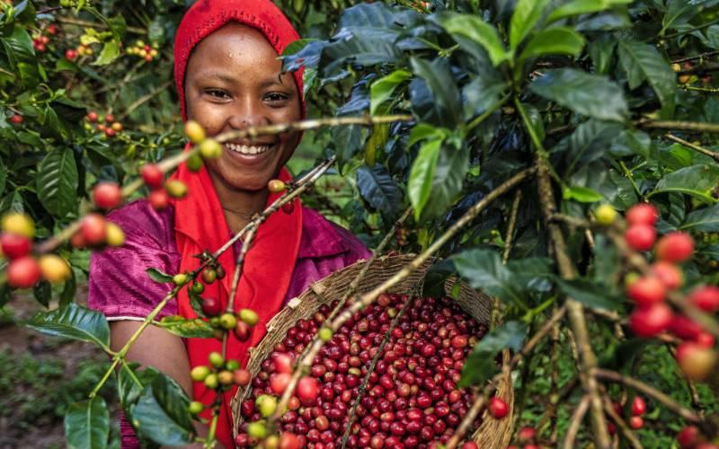 Kenyans' lack of a taste for coffee now boils over