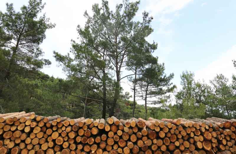 Logging ban leaves timber traders high and dry