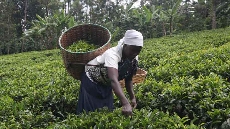 Tea plucking machines leave thousands jobless