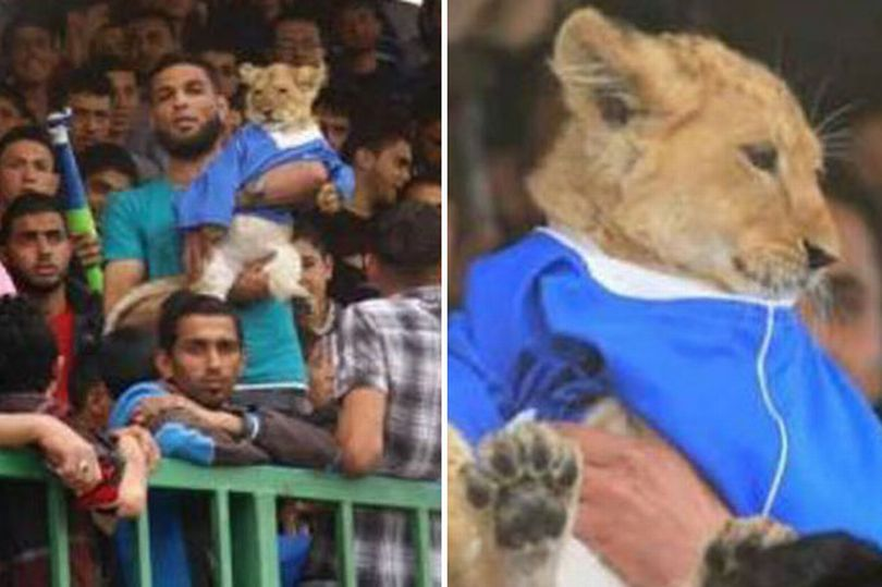 Throwback: Football fans bring Lion to stadium after rescuing it from struggling zoo to roar team to victory [PHOTOS]