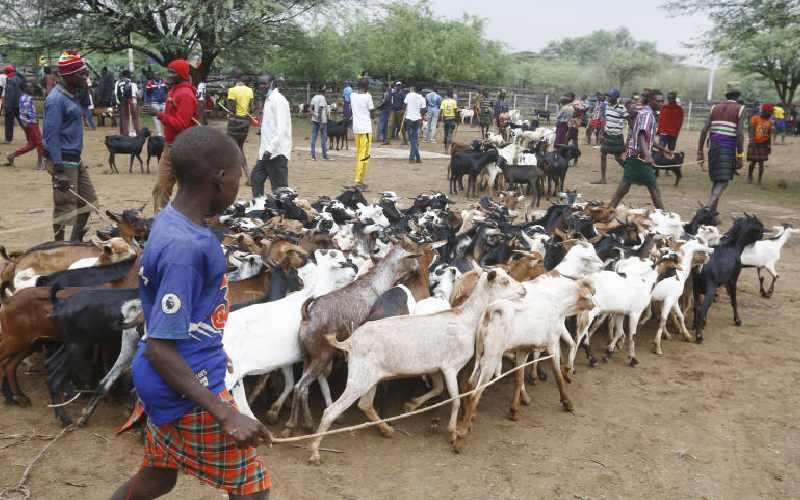 Why the galla goat is gaining popularity in asal counties