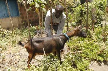 City farmer who makes Sh2,000 daily from goat milk