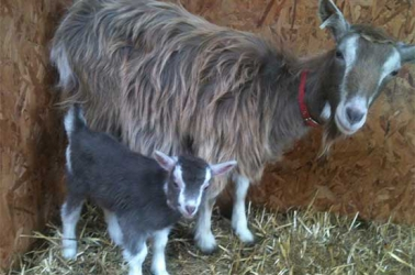 Farmers defy harsh weather to rear prized dairy Togenberg goats