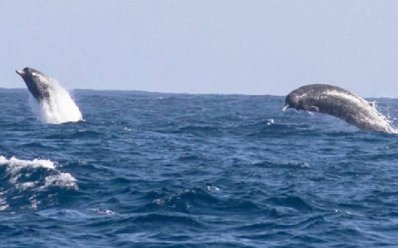 Few sightings as whales steer off Kenyan coast