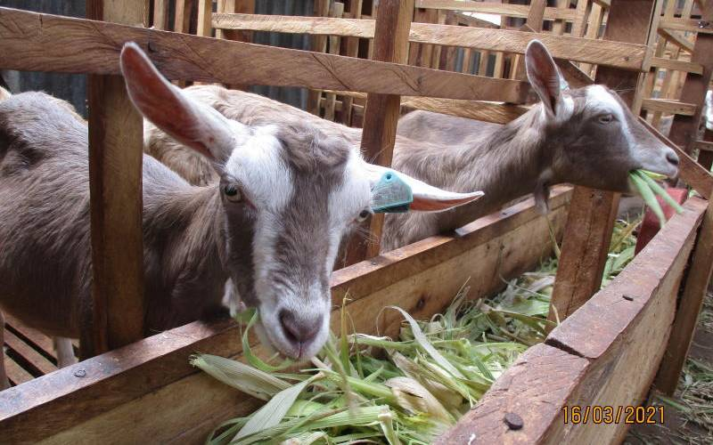 How to get the cash flowing with dairy goats