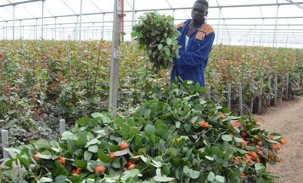 No bed of roses: Flower workers now lose jobs as coronavirus hits exports