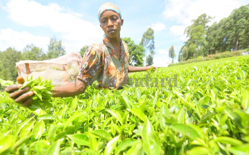 Tea farmers now uproot crop due to poor returns, corrupt officials
