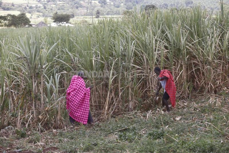 Cattle herders enjoy sweetness of cane farming