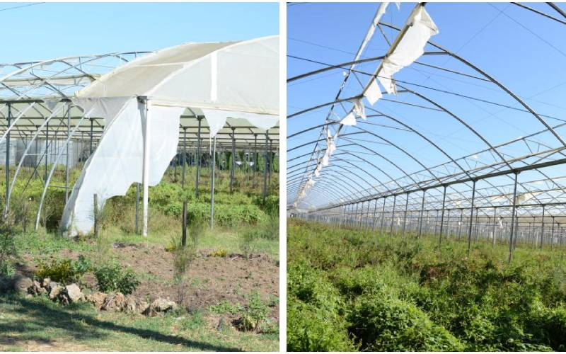 From grace to grass, sad tale of wilting Karuturi flower farms