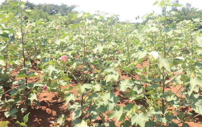 Revival of cotton farming will boost our economy
