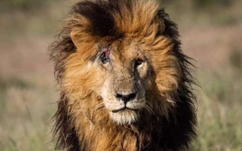 'Scarface': End of an era as iconic lion dies aged 14 at Masai Mara