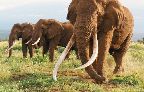 Tutor nabbed with elephant tusk