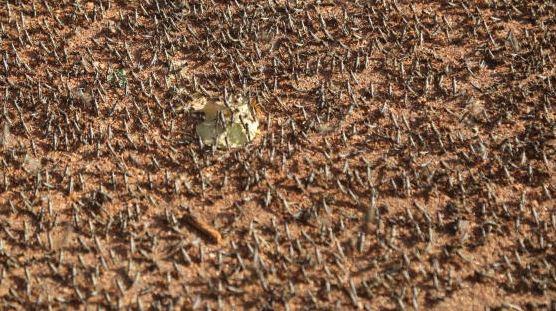 Virus fight deals blow to war on desert locusts