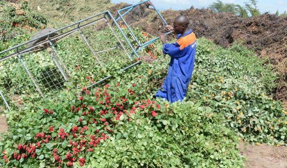 Virus wilts Sh900b global flower trade