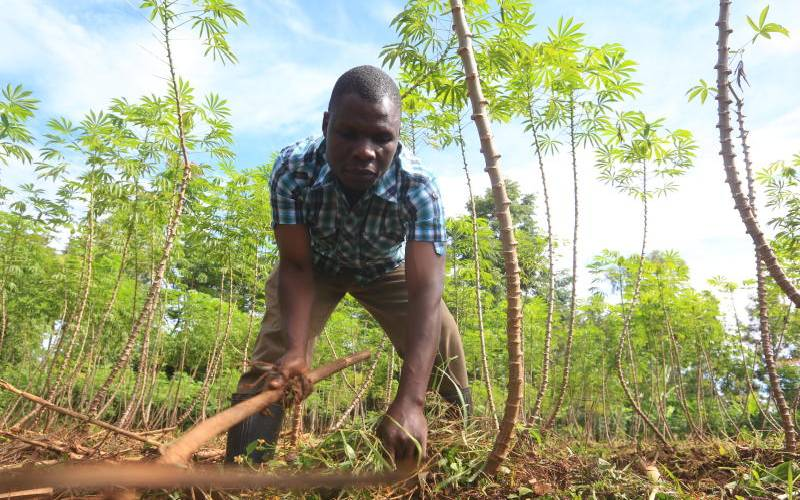 Want to grow cassava? Your complete guide