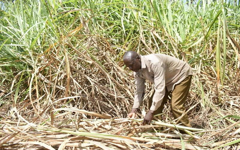 Cane farmers want Comesa import safeguards extended