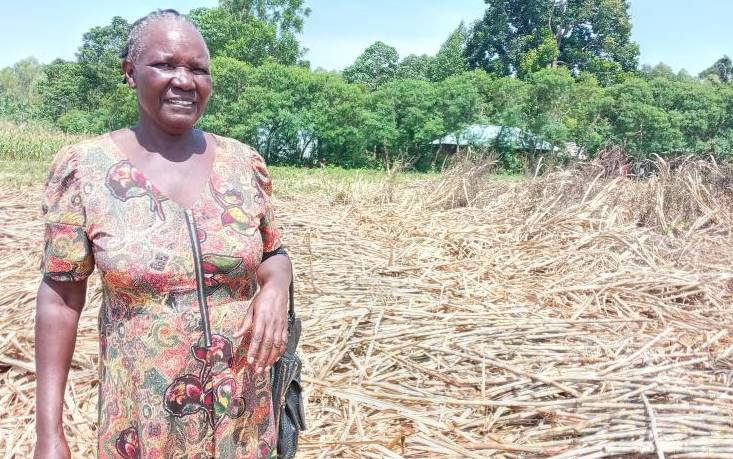 Farmers count loses as millers get cane from Uganda