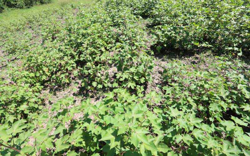 Farmers' joy as new cotton seeds boost harvest