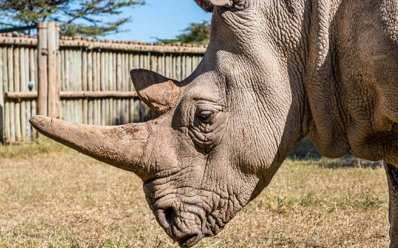 Four new Northern White rhino embryos created