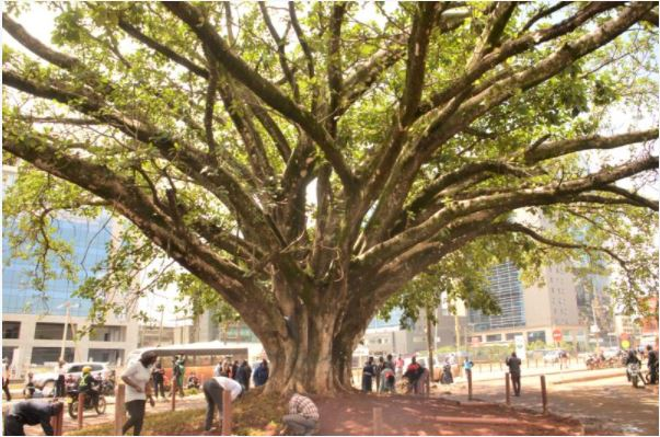 Iconic fig tree saved from Chinese-funded highway