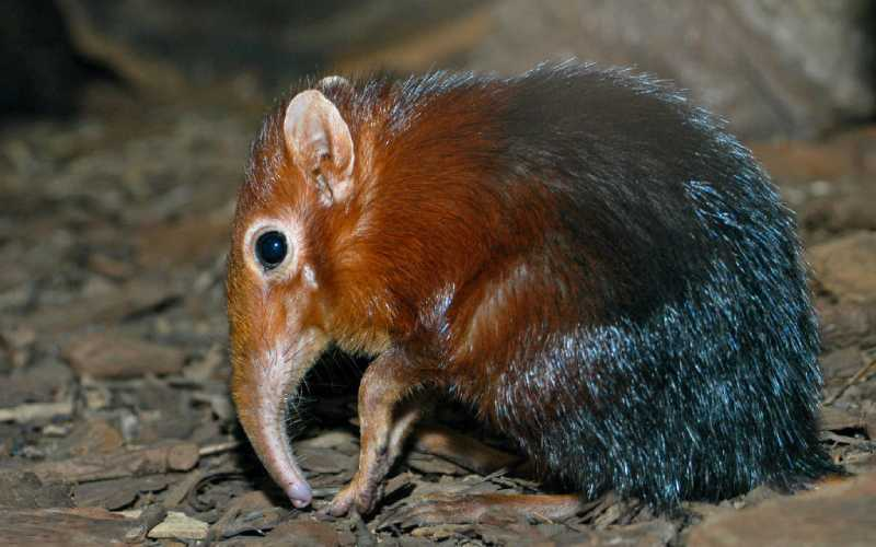 In search of the elusive elephant shrew